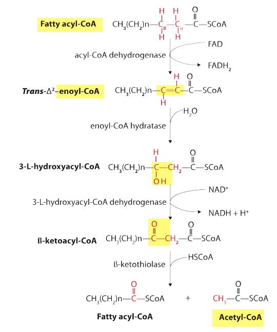 Beta Oxidation of Fatty Acid