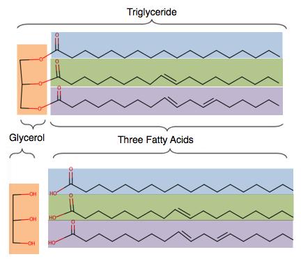 Triglyceride to Glycerol and 3 Fatty Acids