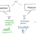 adrenergic-cholinergic-flow
