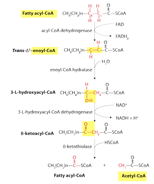Beta Oxidation of Fatty Acid