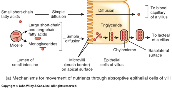 How lipids move into absorptive epithelial cells
